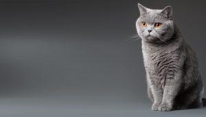 Fellpflege bei Kurzhaarigen Katzen