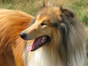 Fellpflege beim Langhaar Hund